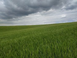 Stunning and magnificent view of the freshly growing grain field with choppy clouds ahead of storm and downpour