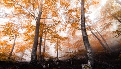 Stunning autumn landscape with orange, red and yellow leaved beech trees. Beech forest with fog in fall season. Montseny natural park, Osona, Vallés, Girona, Barcelona, Catalonia, Spain.