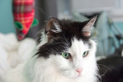 Stunning Black & White cat with enchanting green eyes, ignoring his toy mouse...( here kitty kitty)
