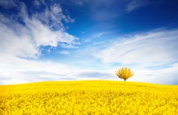 Stunning bright colorful landscape for wallpaper. Yellow field of flowering rape and tree against a blue sky with clouds. Natural landscape background with copy space