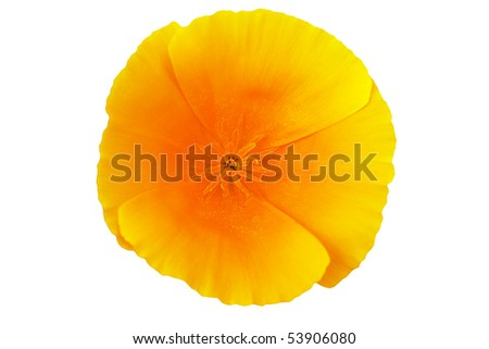 Stunning Californian poppy (Eschscholzia), isolated over white.
