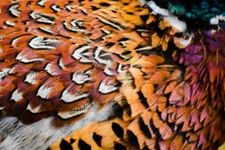 Stunning close up of Pheasant feathers and plumage.