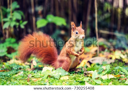 Stunning close up shot of a european red squirrel (a species of tree squirrel) in a standing position looking out for food. Photo taken in an old cemetery in Munich, Bavaria, Germany