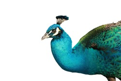 stunning colors of a male peacock  isolated on white with room for your text or images