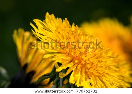 Stunning dandelion flower in key of macro photography. Beautiful blooming dandelion flowers on the background of the garden landscape during summer season. Dandelion  blooms in yellow color.