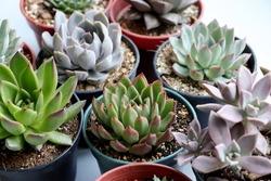 Stunning Echeveria Succulents in pots