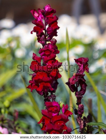 Stunning flowers of  deep cerise  pink  snap dragon Antirrhinum majus  blooming in mid spring add interesting old cottage garden charm to a  front garden   bed  mixed with other annuals. #1030716625