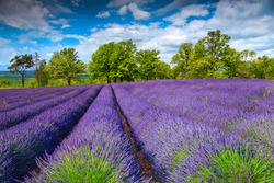 Stunning flowery field with purple lavender flowers. Purple lavender plantation on the glade. Summer flowery scenery in Transylvania, Romania, Europe