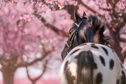 Stunning horse spotted stallion in blossoming trees on spring season.