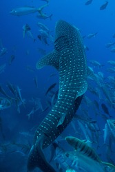 Stunning image of a large Whale Shark swimming vertically surrounded byTrevallys and Rainbow Runners. Wonderful water conditions made this naturally a cool picture.