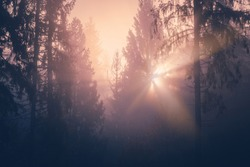 Stunning light rays from rising sun through foggy spruce forest trees on a mountain hill.