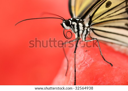 Stunning macro of a black and white butterfly (Idea Leuconoe) also known as a rice paper butterfly or kite butterfly on bright red background