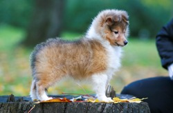 Stunning nice fluffy sable white shetland sheepdog puppy, sheltie standing outside on stump on a sunny autumn day. Small, little cute collie dog, lassie portrait in autumn time with green background
