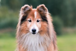 Stunning nice fluffy sable white shetland sheepdog, sheltie outside portrait on a foggy summer, autumn day. Small lassie, little collie dog with grey eyelashes smiling outdoors with green background