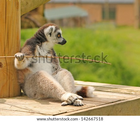 Stunning photo of a ring tailed Lemur sitting on a wooden platform looking away from the camera - stock photo