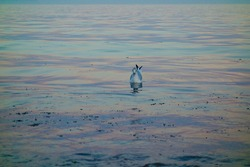 Stunning photo of a seagull bobbing on the water at the beach during sunset