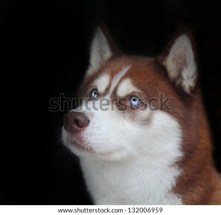 Stunning picture of a Siberian Husky isolated on black