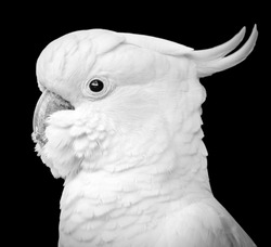 Stunning portrait of a cockatoo parrot bird  in black and white