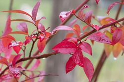 Stunning rain soaked red leaves of the Blueberry plant, Vaccinium 'Patriot', in autumn, close-up, green background