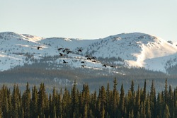 Stunning shot of flock of Canada Geese flying, soaring through the air with large, huge snow capped mountains in background and spruce trees, forest, wilderness below. Birds in natural environment.