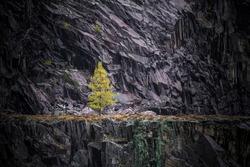 Stunning single bright green tree all alone on ledge abandoned slate quarry mine  Dinorwic North Wales. Nature landscape lit up darkness atmospheric light sun shining illuminating industrial mountain