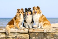 Stunning smart nice fluffy sable black white, tricolor shetland sheepdog, sheltie sitting on a wooden pier in a sunny summer day. Small, little collie, lassie dog smiling on a beach with background
