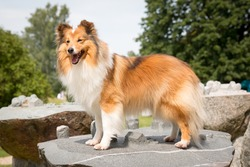 Stunning smart nice fluffy sable white shetland sheepdog, sheltie standing on the rock on a sunny day. Small, little beauty collie dog, lassie portrait in summer time in Dole island museum in Latvia