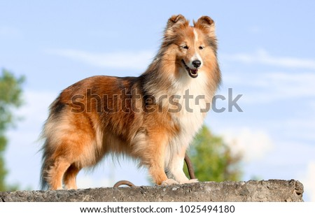 Stunning smart nice fluffy sable white shetland sheepdog, sheltie standing on the rock on a sunny day. Small, little beauty collie dog, lassie portrait in summer time with blue heaven background