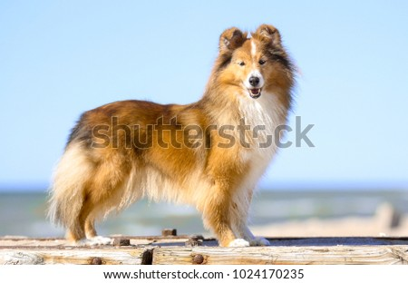 Stunning smart nice fluffy sable white shetland sheepdog, sheltie standing sitting outside a sunny day. Small lassie, little collie dog smiling outdoors on a beach with blue heaven sky background