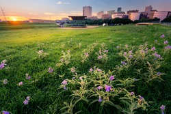 Stunning summer sunrise over a large field containing meadow pink wildflowers fronting downtown Fort Worth, TX