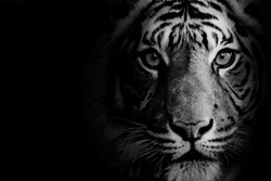Stunning tiger in black and white