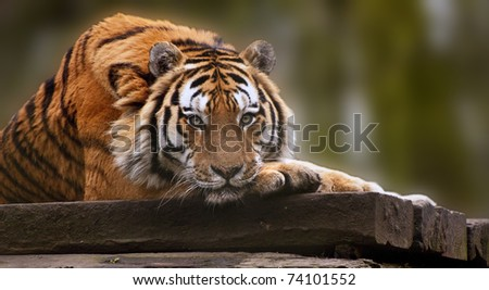 Stunning tiger relaxing on warm day with head on front paws