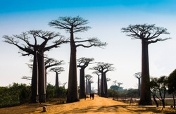 Stunning view of Baobab Avenue with majestic silhouette of trees in foreground, Morondava, Madagascar