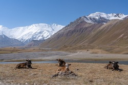 Stunning view of Lenin Peak nowadays Ibn Sina peak basecamp Achik Tash in snow-capped Trans-Alai mountain range in southern Kyrgyzstan with cows and lake in foreground