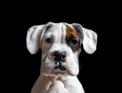 Stunning white boxer puppy with black background