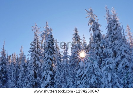 Stunning winter beauty after heavy fresh snowfall completely covered these national forest evergreen trees in WA Cascade Mountains the sky cleared. Sunburst shining thru snowy branches blue sky above. #1294250047