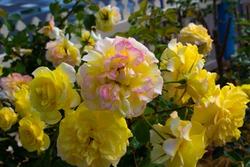 Stunningly  magnificent romantic beautiful  bright canary yellow hybrid tea roses blooming  in spring, summer and  autumn  add fragrance and color to the urban  landscape.
