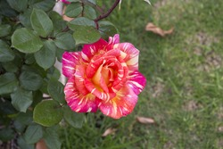Stunningly  magnificent romantic beautiful  pink and yellow striped  hybrid tea   rose blooming  in spring, summer and  autumn   adds fragrance and color to the urban  landscape.