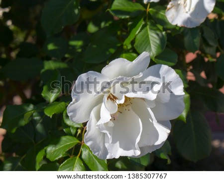 Stunningly magnificent romantic beautiful pure snow white Iceberg rose blooming in late autumn adds fragrant charm to the garden with its decorative florabunda clustering habit .