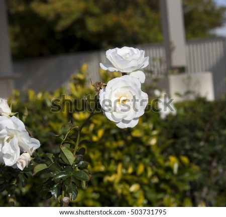 Stunningly  magnificent romantic beautiful pure  snow white Iceberg roses blooming in early spring  add fragrant charm to the garden   with their stunning  florabunda clustering habit . #503731795