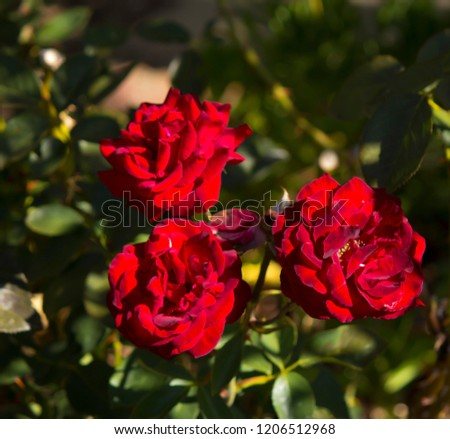 Stunningly magnificent romantic beautiful  velvety red fully blown hybrid tea roses blooming  in  late  spring  adds fragrance and  charm to the urban landscape.