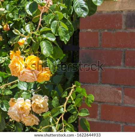 Stunningly  magnificent romantic beautiful yellow tinged pale auburn heritage roses fully blown  blooming in early spring  add fragrant charm to the garden  with their charming clustering habit .