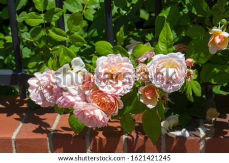 Stunningly  magnificent romantic beautiful yellow tinged pale pink heritage roses fully blown  blooming in early spring  add fragrant charm to the garden  with their charming clustering habit .