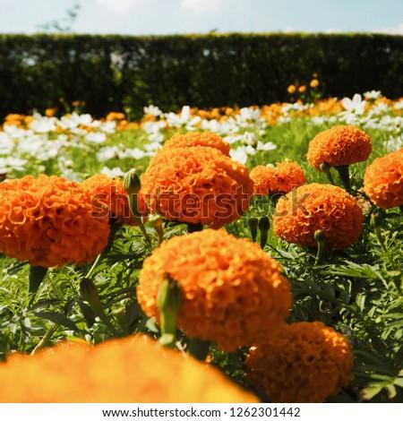 Stunnning Marigolds (Tagetes erecta, Mexican marigold, Aztec marigold, African marigold)  #1262301442