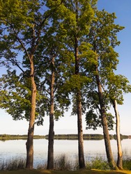 Sturdy trees on the lake shore