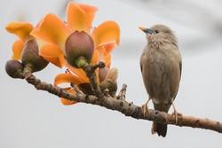 Sturnia malabarica nemoricola bird Taiwan
