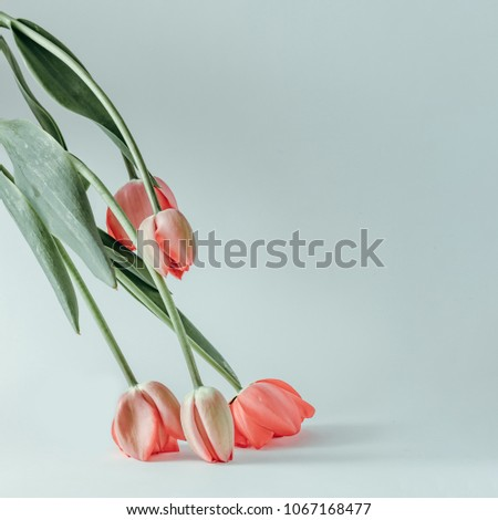 Styled minimalistic still life with tulip flowers on white background. #1067168477