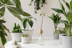 Stylish and botany composition of home interior garden filled a lot of plants in different design, elegant pots and avocado plant in glass bottle. White backgrounds walls. Green is better. Template.