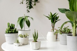 Stylish and botany composition of home interior garden filled a lot of plants in different design, elegant pots on the white table. White backgrounds walls. Green is better. Spring blossom. Template.