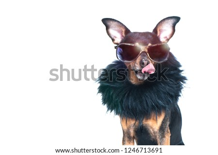 Stylish, chic dog  isolated , diva in a fur coat and glasses licked in anticipation of purchases and discounts. Fashion and shopping concept